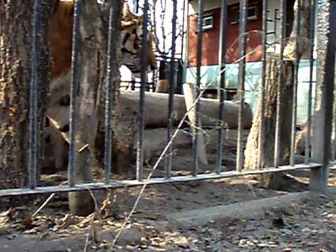 タツオ アムールトラ おびひろ動物園
