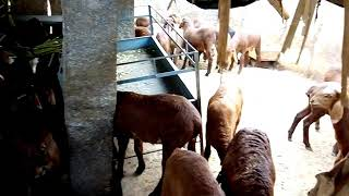 Low cost 100+ sheep shed...