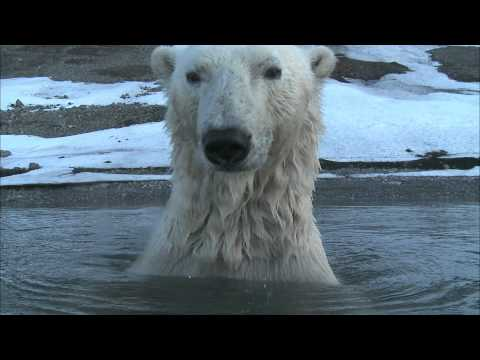 Polar Bear - Spy on the Ice Highlight Reel