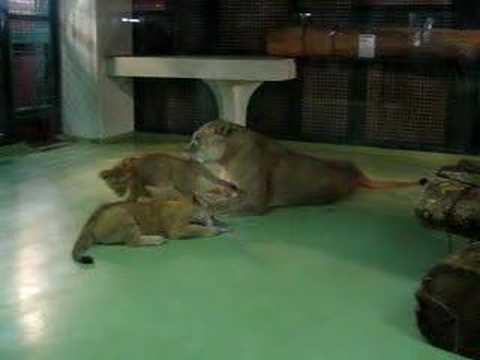 無邪気に遊ぶ、子供ライオン