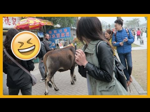 GOT CHASED BY COWS! (Hong Kong Daily Vlog)