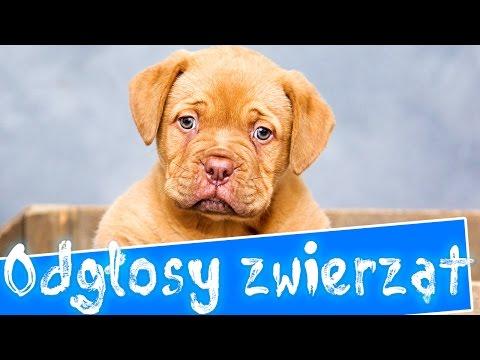 Odgłosy Zwierząt Dla Dzieci | Polska Wymowa Nazw Zwierząt