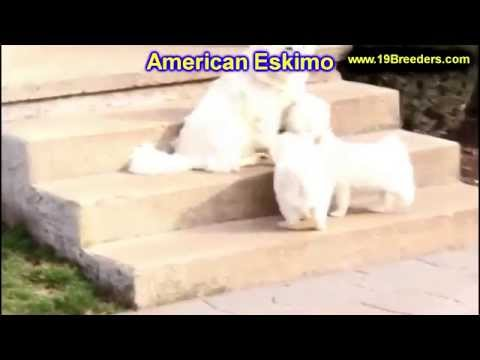 American Eskimo, Puppies, For, Sale, In, Des Moines, Iowa, IA, Bettendorf, Marion, Cedar Falls, Urba