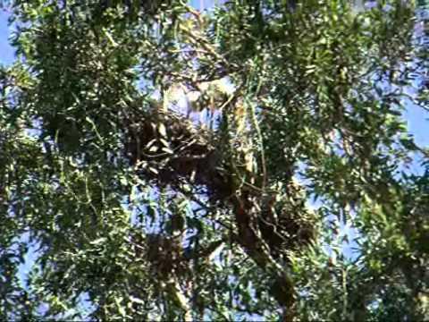 Australian White Ibis (2010/10/17)