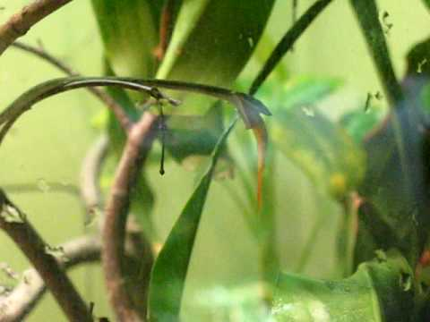 Burmese vine snake eating a goldfish Video