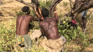 Bushmen get honey from hollows of acacia tree near the Eyasi lake // Бушмены озера Эяси достают мед