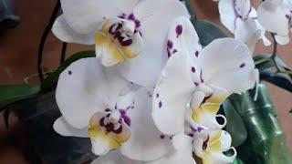 Replante Das Cattleyas Do Orquidario Santa Bárbara