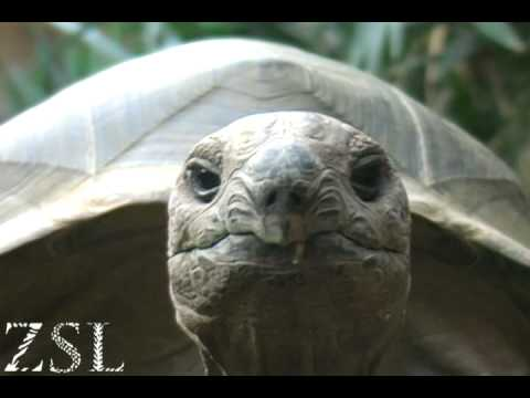 Mathilda the friendly giant tortoise