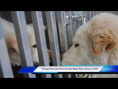 46 Dogs Rescued From Korean Meat Farm Arrive In NYC