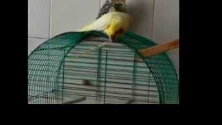 My White Cockatiel Blondy plays with quill