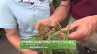 Central Florida Gardening-2 Minute Pest - Sedge Weeds