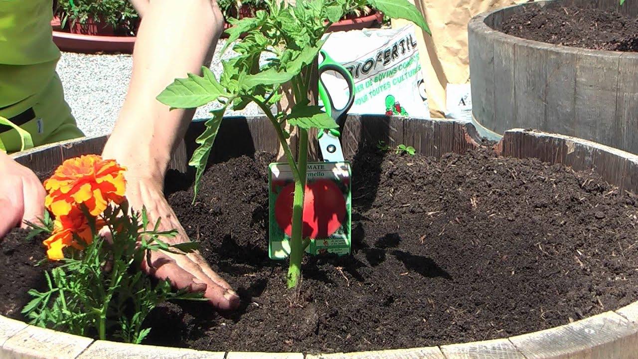 Comment réussir ses cultures de tomates, conseils du Jardin de Balgan ...