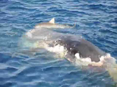 Sharks eating whale - YouTube