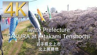 4K Iwate Prefecture SAKURA at Kitakami Tenshochi 岩手県 北上展勝地
