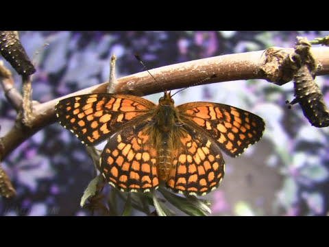 Butterflies: Nature's Miracles (DVD/Blue-Ray Movie) Part 3/5 V12088c