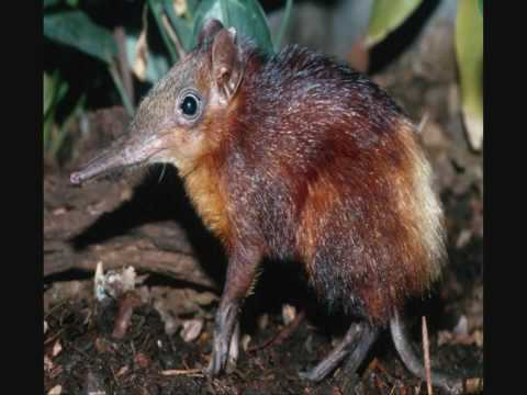 Mammals of the World: Golden-rumped Elephant Shrew