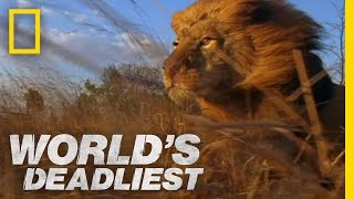 World's Deadliest - Lion Pack vs. Buffalo