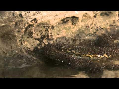 活蟒被螞蟻生吞活剝( Python VS Ants) アリ V.S パイソン