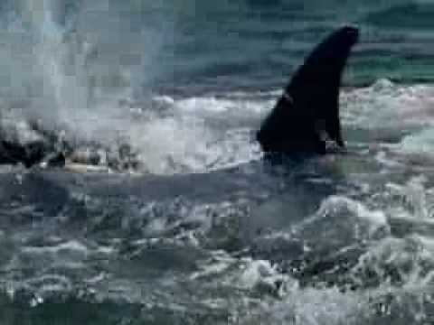 Orca eats a Shark! Video