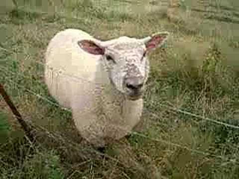 Schermaschine Eider EG 727 Flex Schafschermaschine für Schafe und Pferde