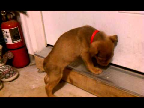 puppy falls asleep standing up & tumbles over.3gp youtube