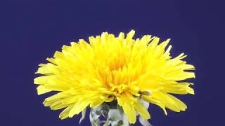 Dandelion flower & clock time-lapse