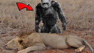 The ''Lion Killer'' Chimps: Bili Apes (Inspired by Joe Rogan)