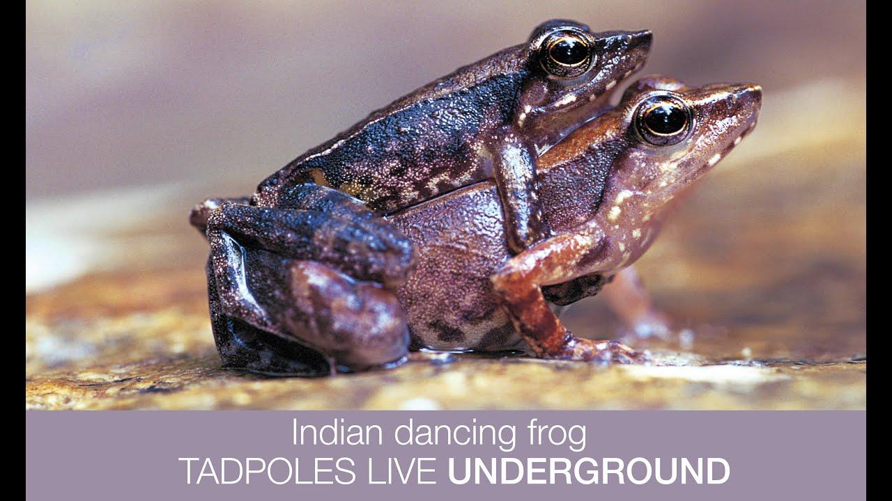 Indian purple frog tadpole