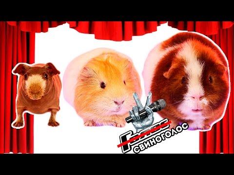 СВИНОГОЛОС 2: 6 Песен / Морские Свинки Поют / SvinkiShow