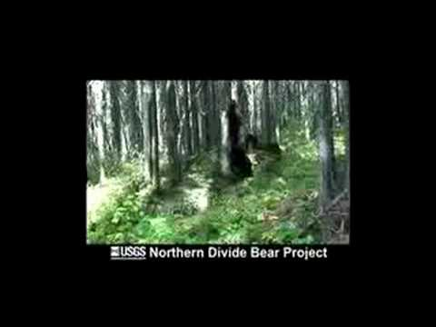 Status of Grizzly Bears in Northwest Montana