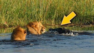 Lion VS Crocodile Great Battle - Most Amazing Moments Of Wild Animal Fight. Discovery Wild Animals