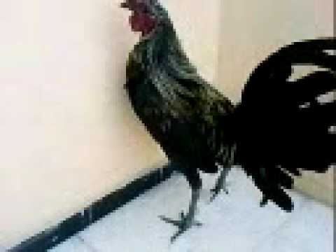 fight roosters /  GALLOS DE PELEA  Mel Sims/brown red / hatch (pollo prieto) (LOS CORUKOS)