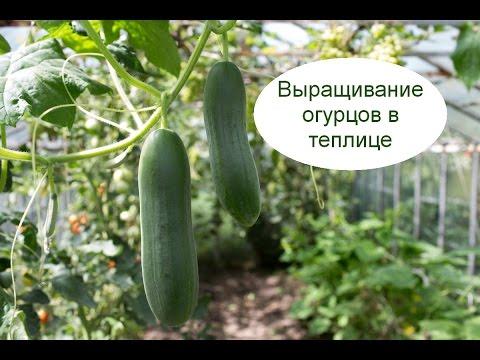 Бизнес идеи выращивание огурцов 75