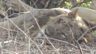 Asiatic lions at Sasan Gir l Gir Safari at Sasan