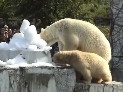09年7月20日氷のプレゼント(円山動物園 ホッキョクグマ)
