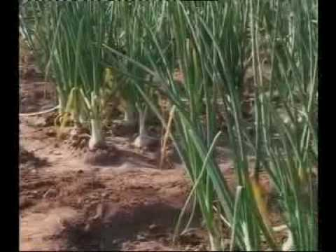 Onion Production technology Production technology part-2 Dr.Ashraf Sahibzada