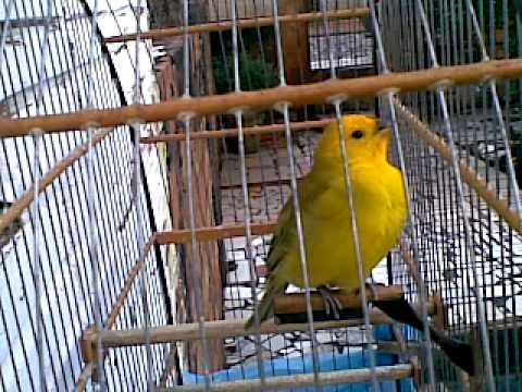 canario da  terra peruano (Bigua)