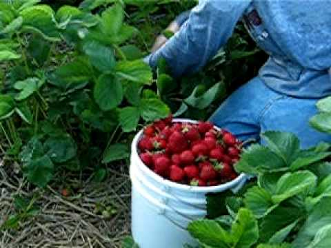 2007 Strawberry Picking