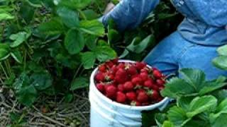 2007 Strawberry Picking
