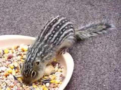 Poison striped ground squirrels