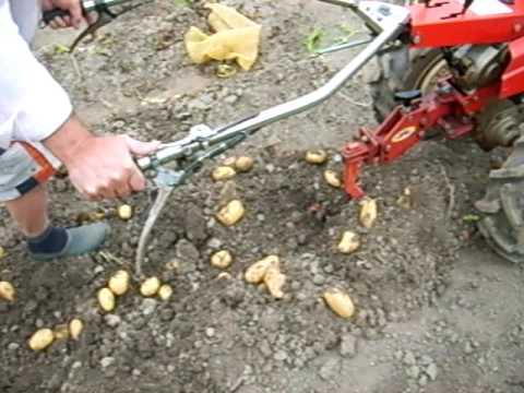 Arrachage de pommes de terre