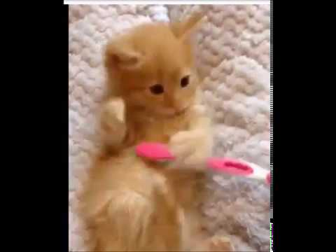 CUTE kitten enjoys a toothbrush -- TOO CUTE!