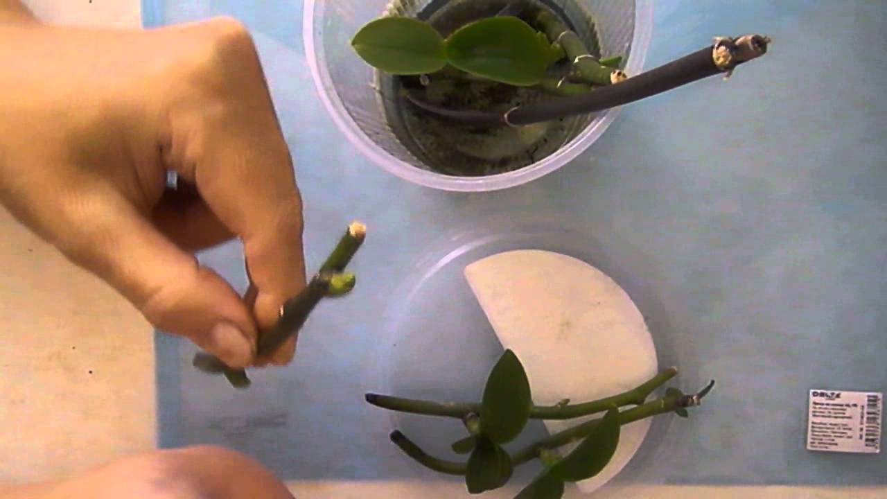 Орхидея как пересаживать черенков