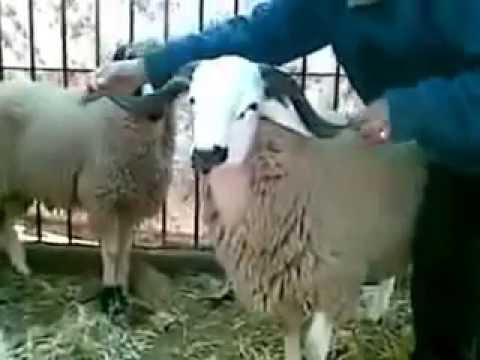 معجزرة القرن خروف الالي