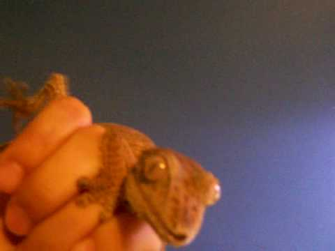 Leaftail Gecko Handfeeding Video