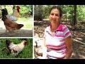 Alimentación gallinas criollas - Cruz Delina