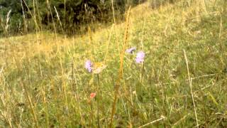 Butterfly on Small Scabious