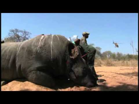 Western black rhino driven to extinction