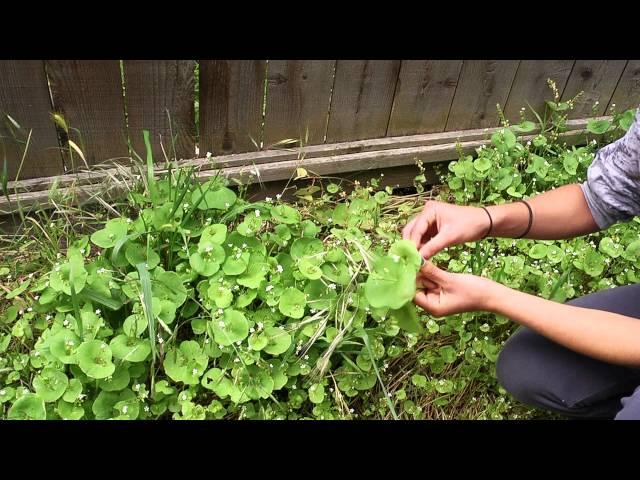Wild Edibles With Sergei Boutenko: Miner's Lettuce
