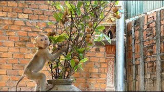 Baby Monkey Dodo Very Happy To Climb On The Trees To Get  Longan